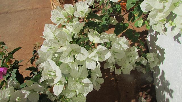 popínavé rostliny