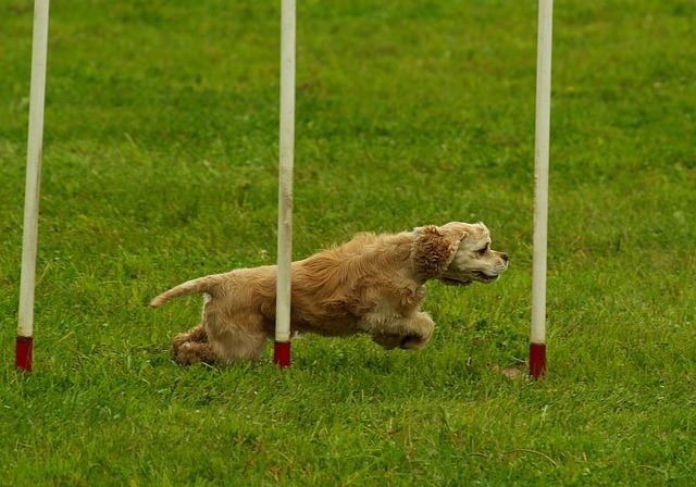 psí agility