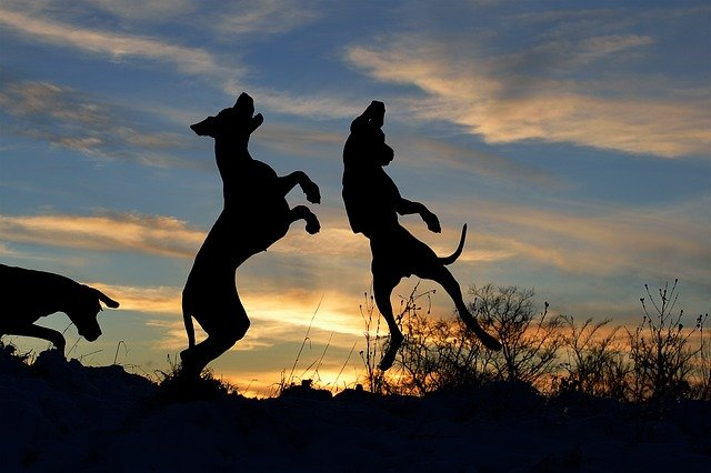 skákající psi