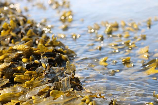 řasa Kelpa na pobřeží oceánu